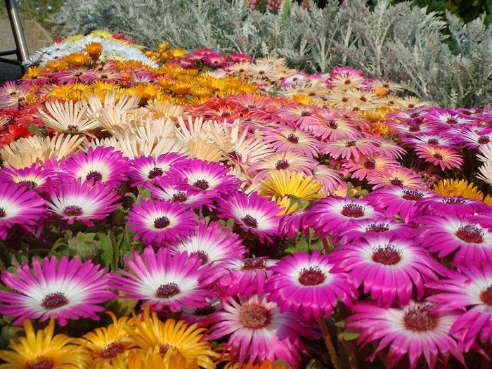 Японский Парк цветов Асикага (Ashikaga Flower Park) -2 68444