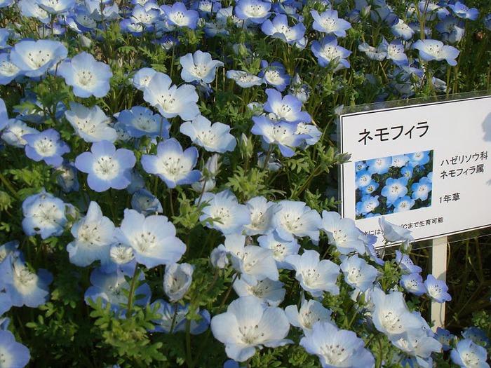 Японский Парк цветов Асикага (Ashikaga Flower Park) -2 33890