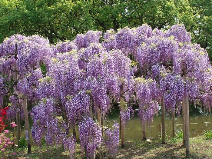 Японский Парк цветов Асикага (Ashikaga Flower Park) -2 91498
