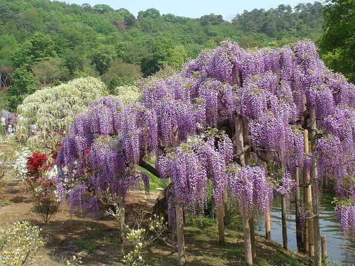 Японский Парк цветов Асикага (Ashikaga Flower Park) -2 16723