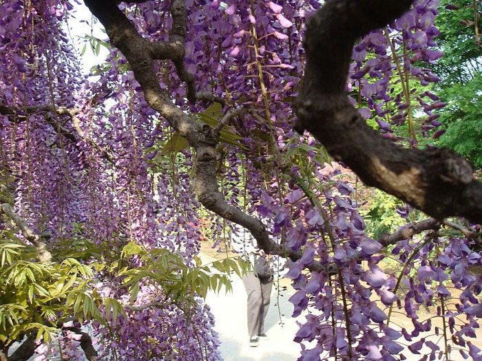 Японский Парк цветов Асикага (Ashikaga Flower Park) -2 49506