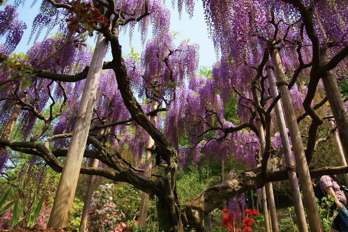 Японский Парк цветов Асикага (Ashikaga Flower Park) -2 49957