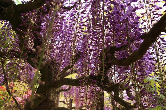 Японский Парк цветов Асикага (Ashikaga Flower Park) -2 10210