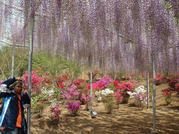 Японский Парк цветов Асикага (Ashikaga Flower Park) -2 29538