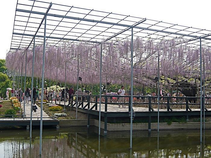 Японский Парк цветов Асикага (Ashikaga Flower Park) -2 68655