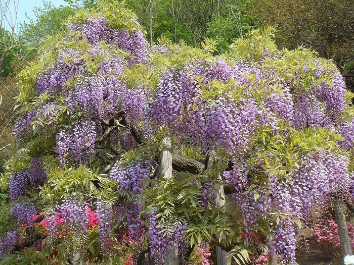 Японский Парк цветов Асикага (Ashikaga Flower Park) -2 50381