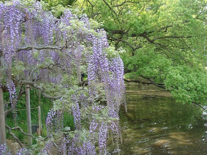 Японский Парк цветов Асикага (Ashikaga Flower Park) -2 45353