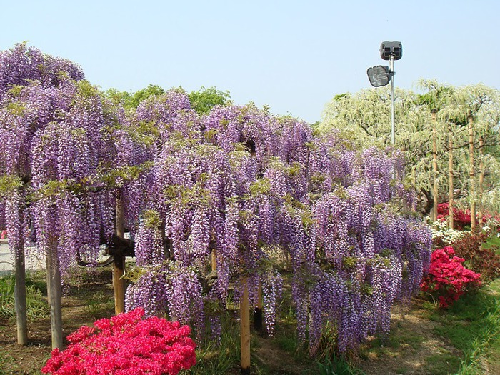 Японский Парк цветов Асикага (Ashikaga Flower Park) -2 55668