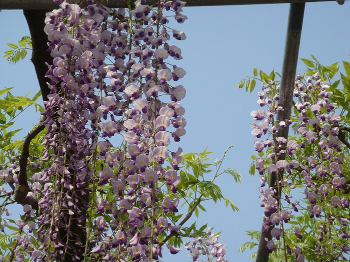 Японский Парк цветов Асикага (Ashikaga Flower Park) -2 91675