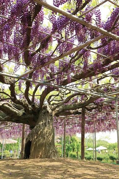 Японский Парк цветов Асикага (Ashikaga Flower Park) -2 59789