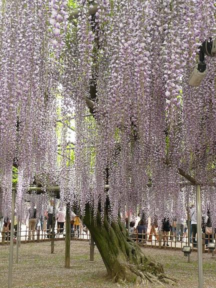 Японский Парк цветов Асикага (Ashikaga Flower Park) -2 97725