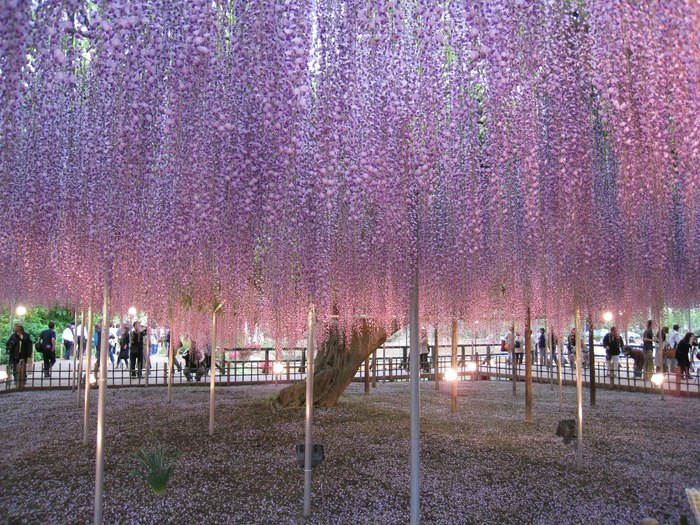 Японский Парк цветов Асикага (Ashikaga Flower Park) -2 46206