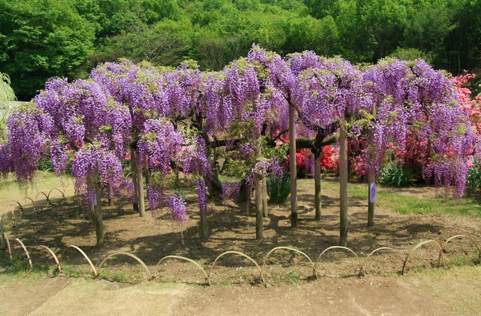 Японский Парк цветов Асикага (Ashikaga Flower Park) -2 98062