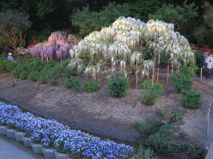 Японский Парк цветов Асикага (Ashikaga Flower Park) -2 88908