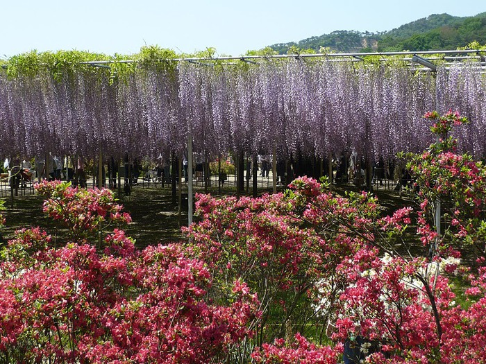Японский Парк цветов Асикага (Ashikaga Flower Park) -2 25428