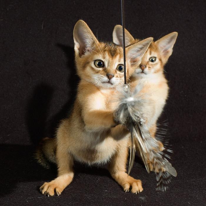 Абиссинская кошка (700x700, 247Kb)