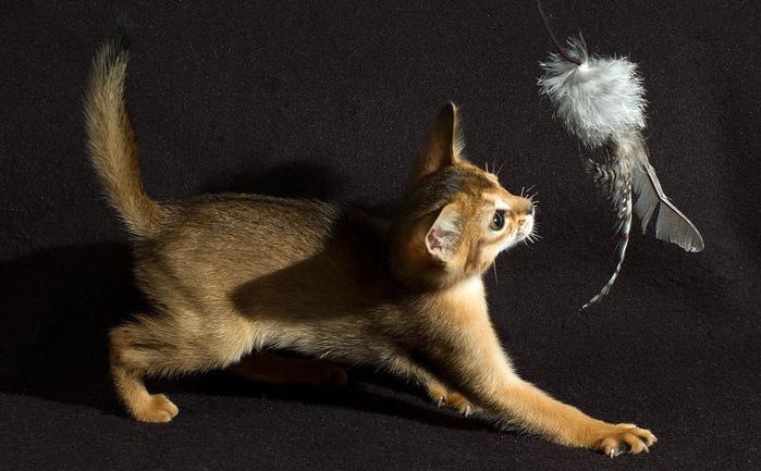 Абиссинская кошка (699x433, 181Kb)