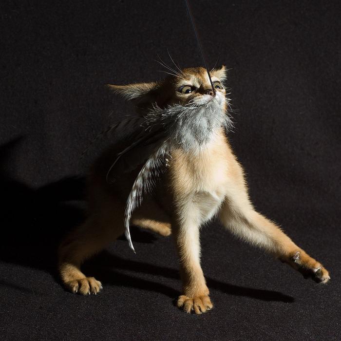 Абиссинская кошка (700x700, 224Kb)