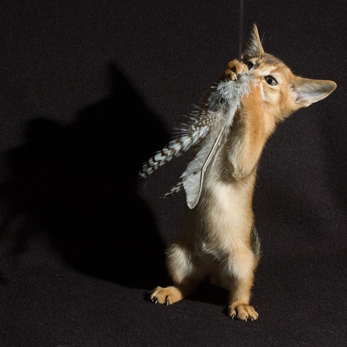 Абиссинская кошка (700x700, 253Kb)
