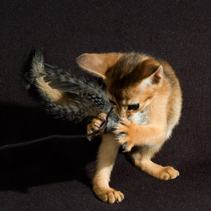 Абиссинская кошка (700x700, 172Kb)
