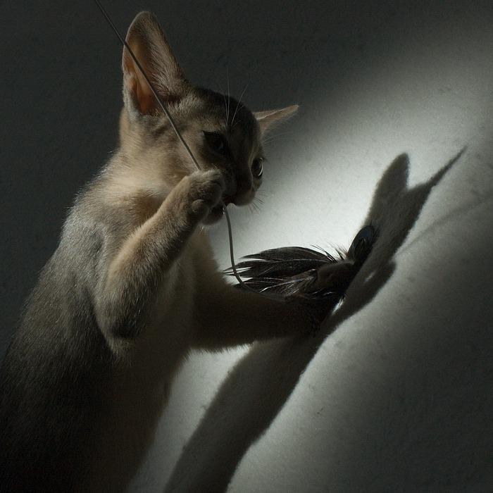 Абиссинская кошка (700x700, 110Kb)