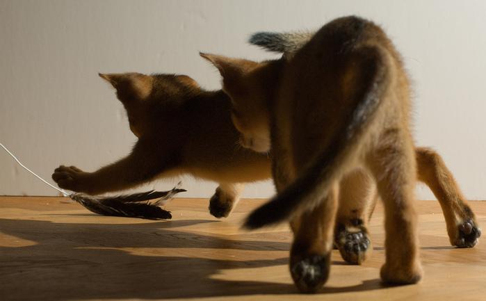 Абиссинская кошка (699x433, 120Kb)