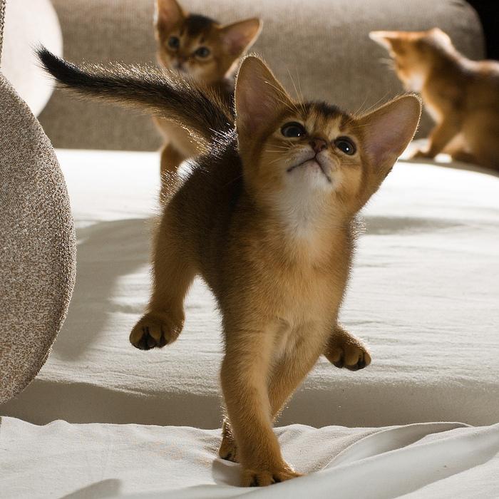 Абиссинская кошка (700x700, 261Kb)