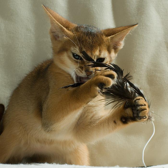 Абиссинская кошка (700x700, 249Kb)