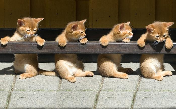 Абиссинская кошка (699x433, 190Kb)