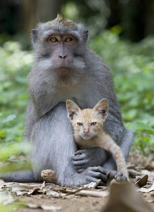 ss-100826-monkey-kitten-02_ss_full (500x687, 245 Kb)