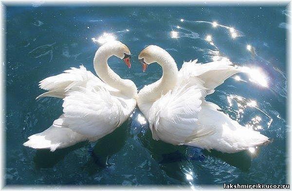 изображение лебедя: