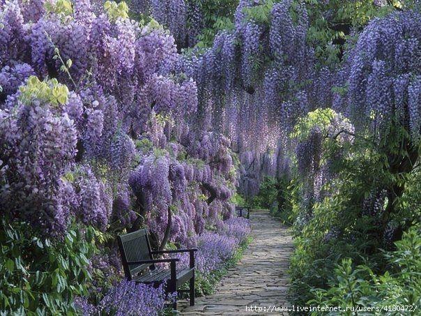 Сад глицинии, Вайнхайм, Германия (604x453, 269Kb)