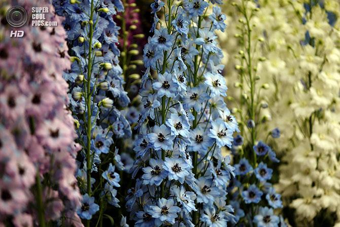 фестиваль цветов в лондоне фото 9 (670x447, 324Kb)