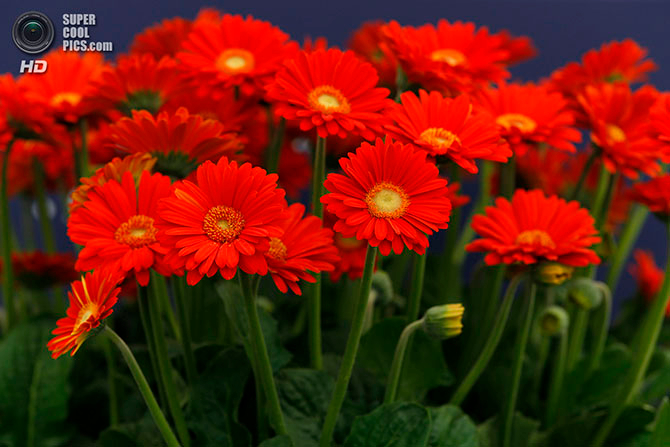 фестиваль цветов в лондоне фото 18 (670x447, 320Kb)