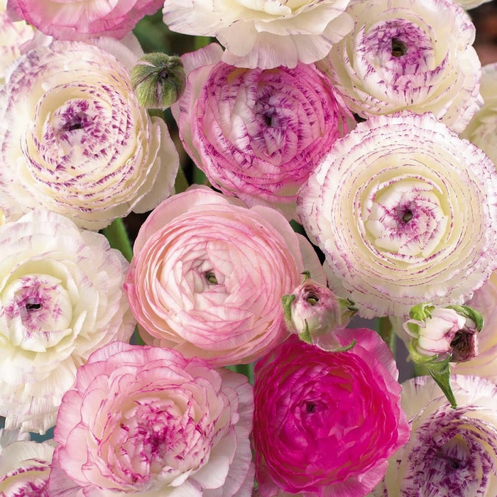 - розы (700x700, 411Kb)