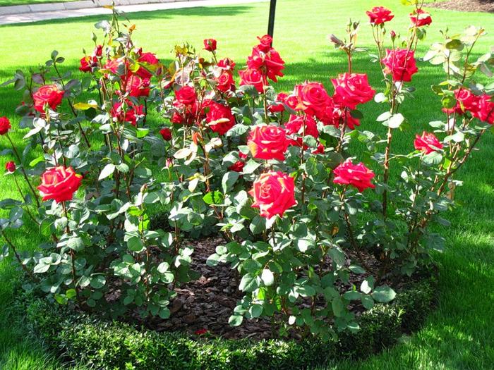rose (700x525, 613Kb)