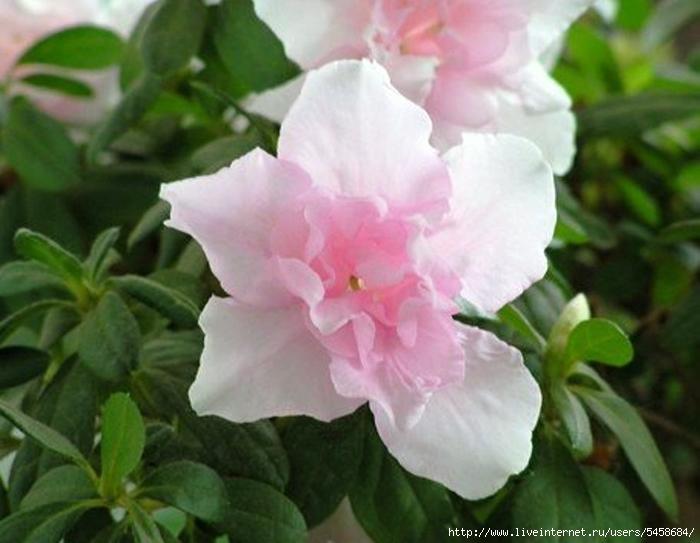 Цветок азалии показать