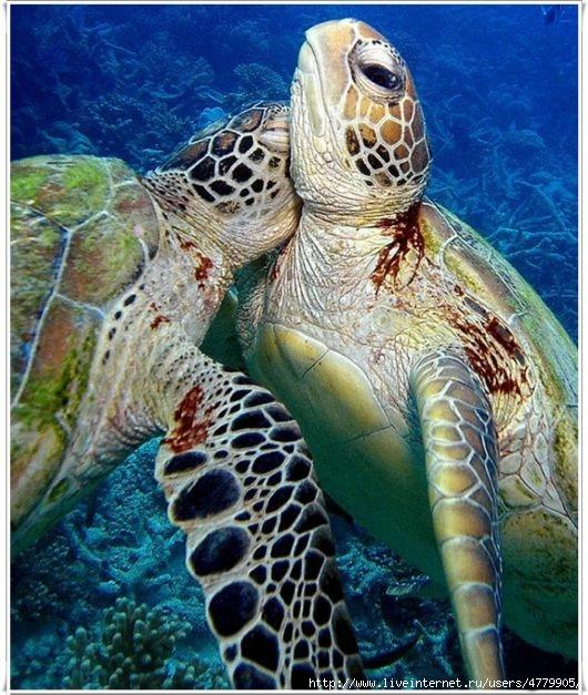 sea_turtle_family_06 (530x627, 235Kb)