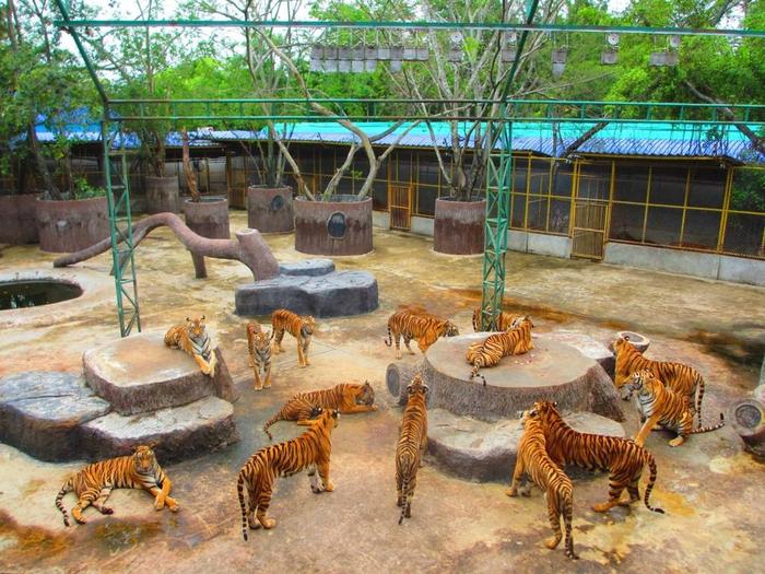 тигровый зоопарк в таиланде фото 10 (700x525, 505Kb)