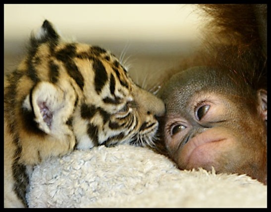 как ловят маленьких тигрят