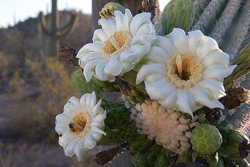saquaro_flower (500x334, 129Kb)