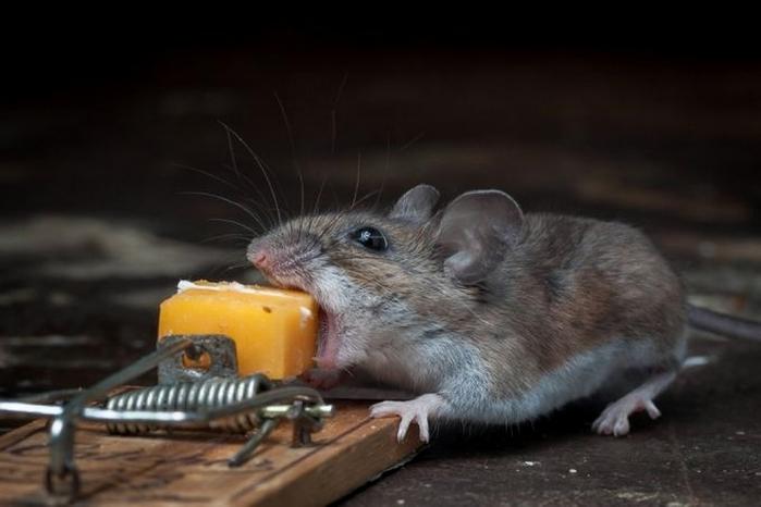 мышь фото 3 (700x466, 153Kb)