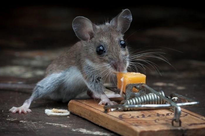мышь фото 7 (700x466, 172Kb)