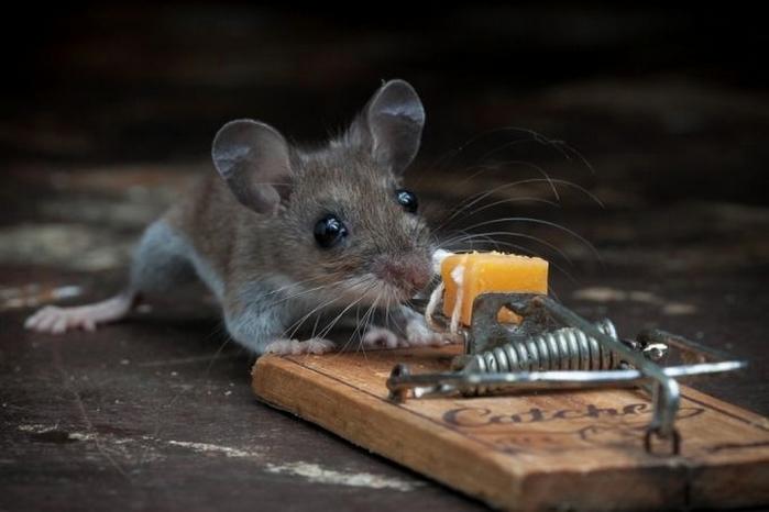 мышь фото 9 (700x466, 161Kb)