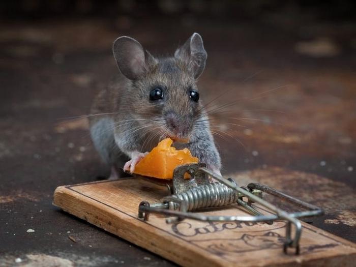 мышь фото 11 (700x525, 191Kb)