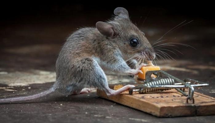 мышь фото 14 (700x399, 155Kb)