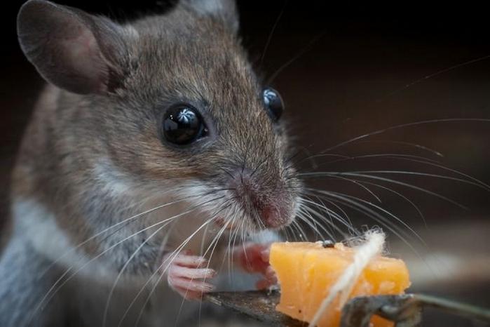 мышь фото 16 (700x466, 170Kb)