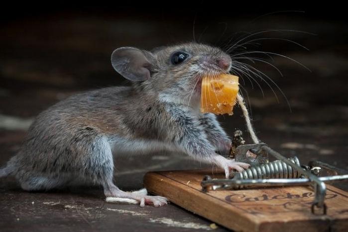 мышь фото 18 (700x466, 183Kb)