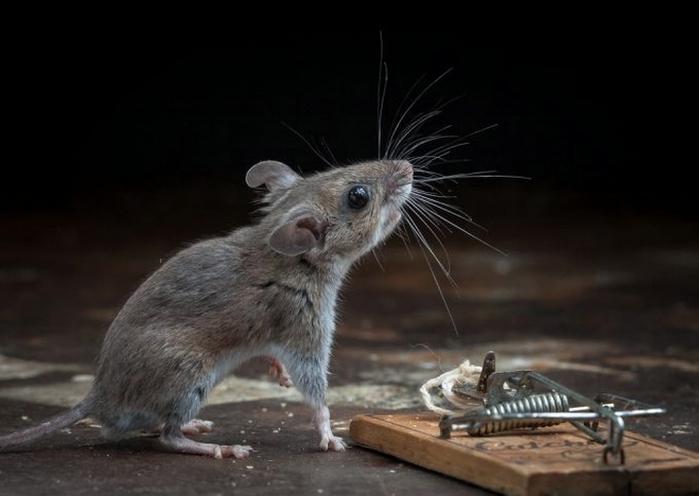 мышь фото 22 (700x496, 147Kb)