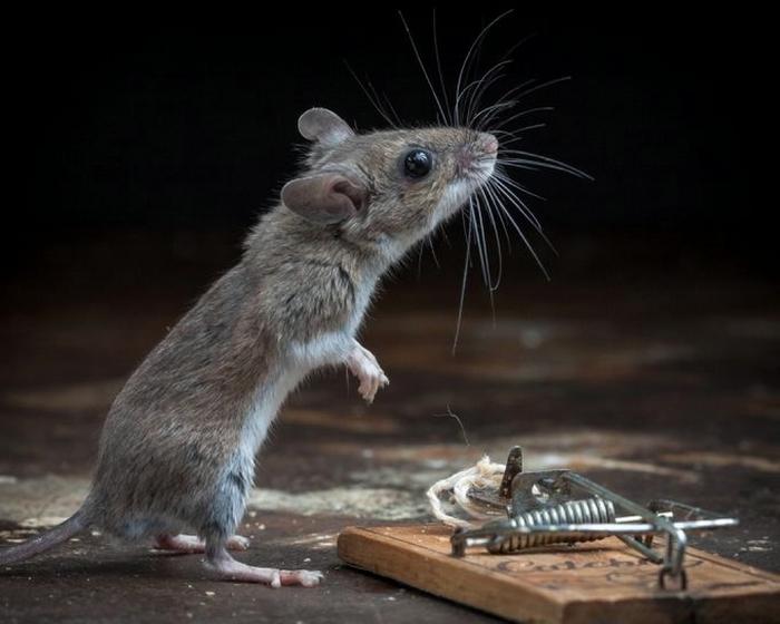 мышь фото 23 (700x560, 181Kb)